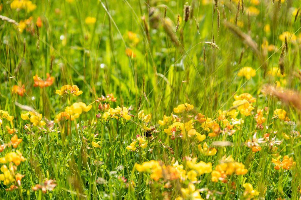 Herstmonceux Castle Wild Flower Meadow 2019