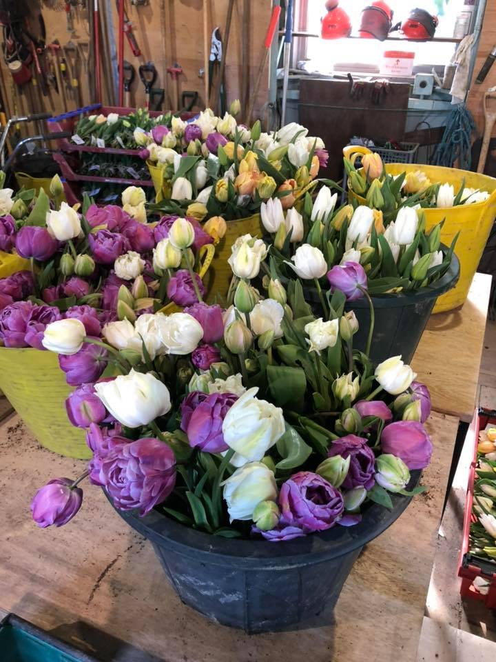 tulips cut from the closed gardens of Herstmonceux Castle donated to key workers during the UK corona virus outbreak